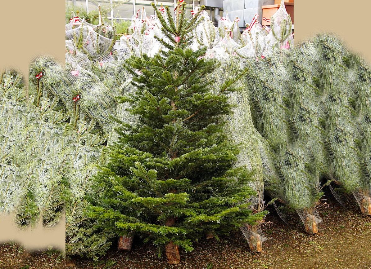 Vianočné stromčeky do stojanov